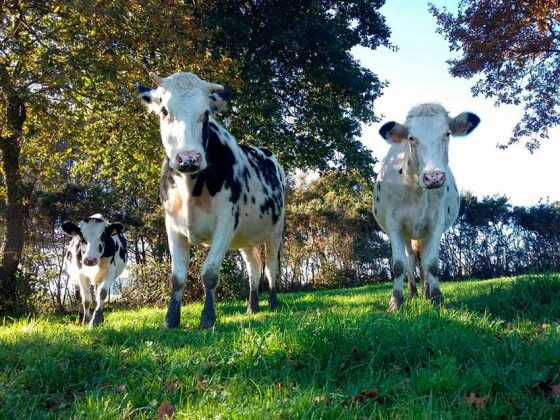 Vacas Felices de Casa Xanceda